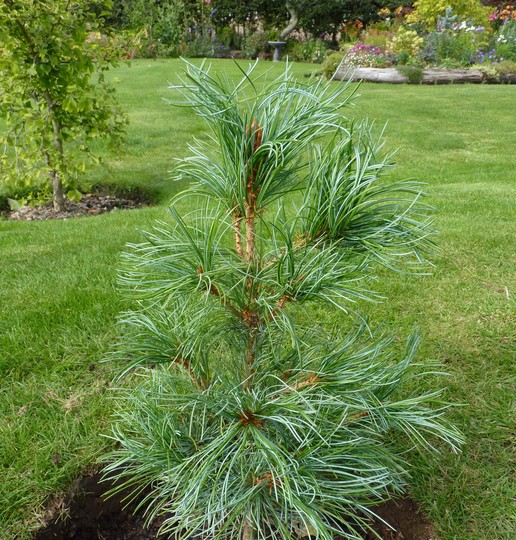 New Conifer