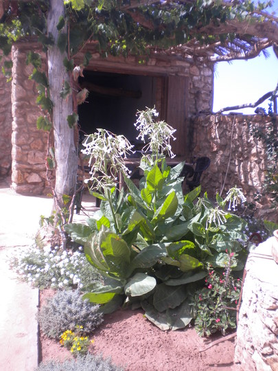 2014 05 14 001 001 (Nicotiana alata (Tobacco plant))