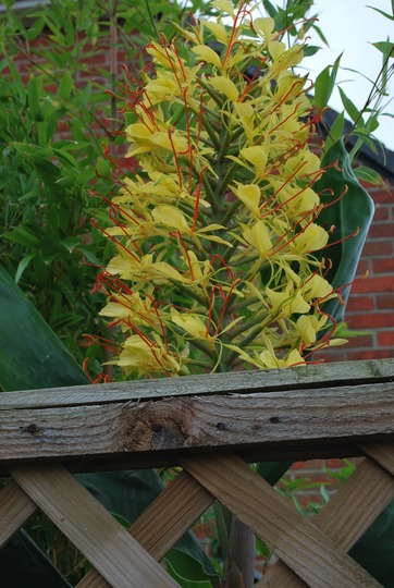 Another first this year a flower on our Ginger lily!! (Hedychium gardnerianum (Ginger Lily))