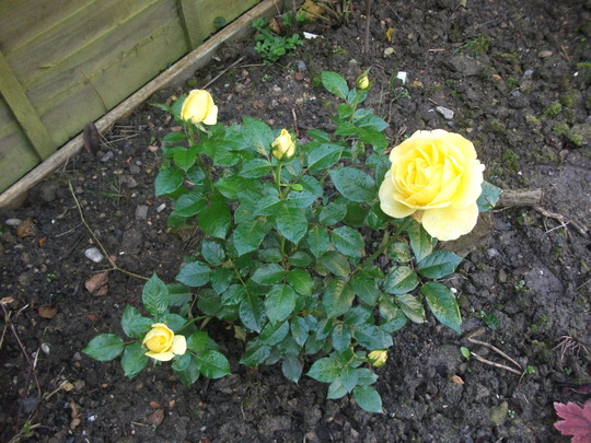 'Guy's Gold' this beautiful rose we chose in memory of Guy who died 5 weeks ago and is buried in a corner of the garden .