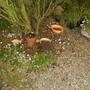 Hedgehog among the Cyclamen.