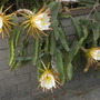 Hylocereus undatus - Dragon Fruit Vine Flowers (Hylocereus undatus - Dragon Fruit Vine Flowers)