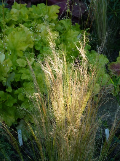 Stipa tenuissima...a great grass for long-shadow days. (Stipa tenuissima (Feather grass))