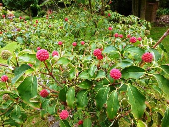 Cornus Kousa berries