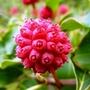 Cornus_kousa_berry_3