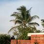 Coconut tree, my parents' next door neighbor.