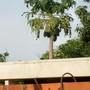 Claudia's papaya tree.