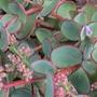 Sedum 'Dragon' (Sedum sieboldii (Siebold's Stonecrop))