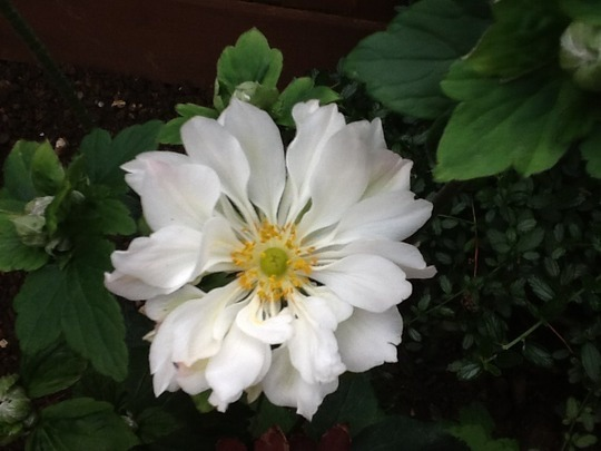 Japanese Anemone Whirlwind for Steragram
