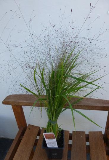 Eragrostis spectabilis (Eragrostis spectabilis (Purple Love Grass))