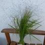 P1020152eragrostis