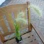P1020150fluffy_grass