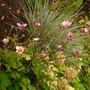 Little Lime Pink Anemones