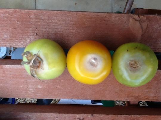 Stalk end rot tomato