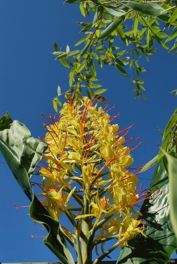 Ginger lily against blue sky..... (Hedychium gardnerianum (Ginger Lily))