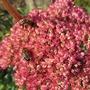 Bee Heaven. (Sedum spectabile (Ice plant) Autumn Joy)