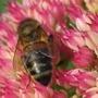 Busy as a Bee (Sedum spectabile (Ice plant))