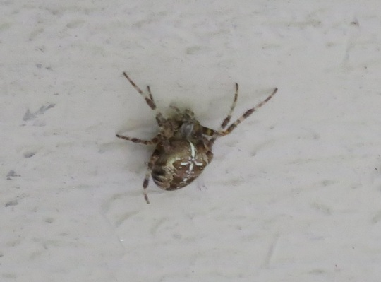 Araneus diadematus- female