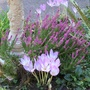 Fall_crocus_and_heather