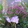fall crocus and fall flowering calluna (heather)