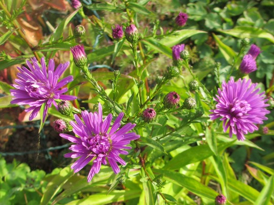 Aster amellus - first flowering. (Aster amellus (Aster))