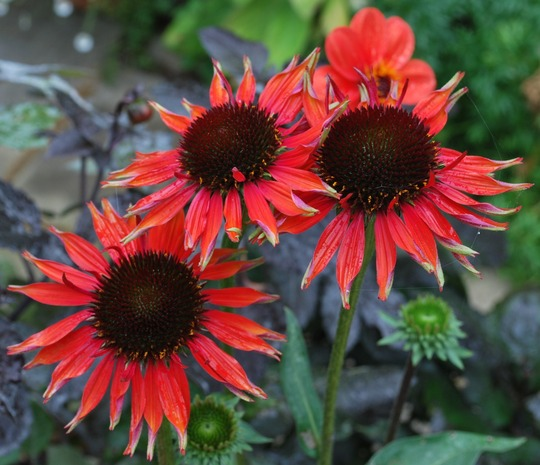 Echinacea Hot Lava...A good one for the butterflies... (Echinacea Hot Lava..)