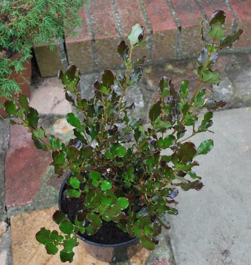 Coprosma Pacific Night....... (Coprosma repens (Mirror Plant) Pacific Night.)