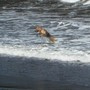 A happy dog playing in the surf!