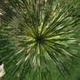 Look into my EYE..... (pinus)