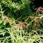 Miscanthus_sinensis_..ferner_osten_..