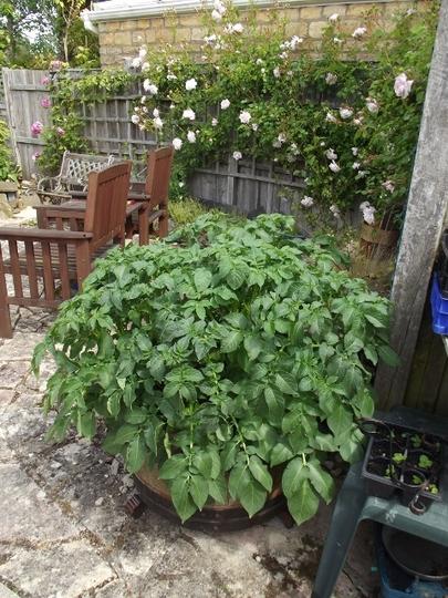 Potatoes growing in the barrel - June
