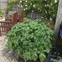 Potatoes growing in the barrel - June