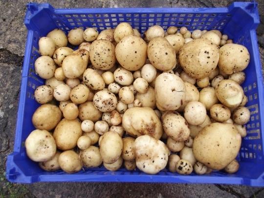 Potatoes dug from barrel - September