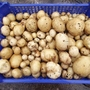 Potatoes dug from barrel - September