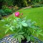 Rambling Rose 'Perennial Blue'