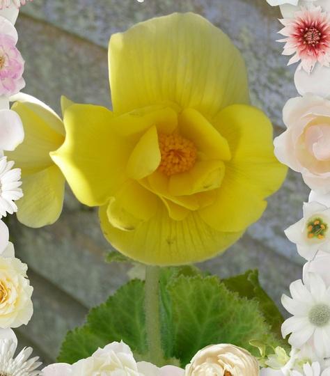 Yellow double Begonia