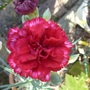 P1020158dianthus_red