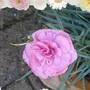 P1020159dianthus_pink