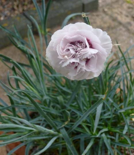 Dianthus Cranmere Pool (Dianthus)