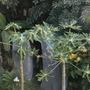 Papayas  (Carica papaya)  Red Caribbean & Maradol (Papayas  (Carica papaya)  Red Caribbean & Maradol)