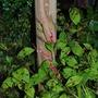 Persicaria flowering.... (Persicaria bistorta (Bistort))