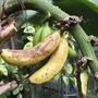 Bananas, Floral Halls, Pittencrieff Park, Dunfermline