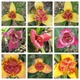 9 out of 20 (Tigridia pavonia (Tiger flower))
