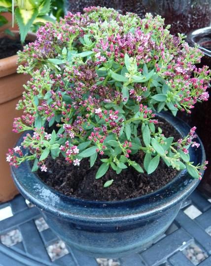 Crassula for my winter greenhouse. (Crassula sarcocaulis)
