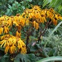 Ligularia flowers... (Ligularia dentata Desdemona)