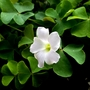 Oxalis incarnata  - A woodsorrel from South Africa