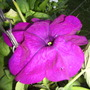 Petuniatornadopink