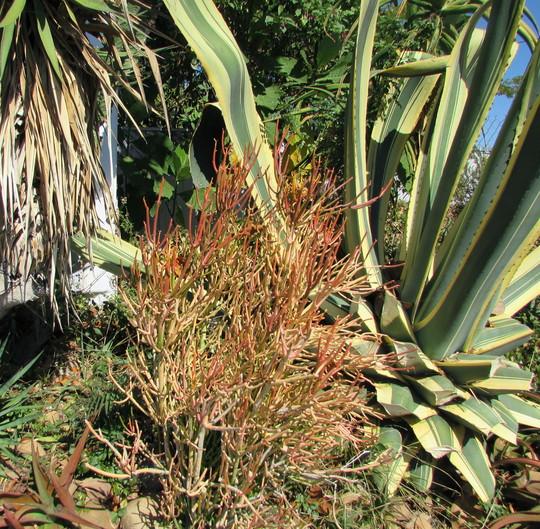 Firesticks before it turns red in cool weather. (Euphorbia tirucalli (Milk Bush) firesticks.)
