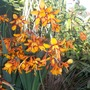 Crocosmia Emily Mackenzie for Olive Oil !