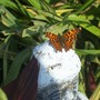 Is this a tortoise shell butterfly, do you think !  Isn't it lovely !